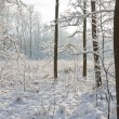 Royalty-Free Stock Photo: Snowy winter forest with the sun shining through the trees