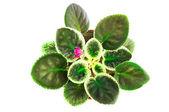 молодые листья сенполия — Стоковое фото
