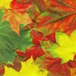Red maple leaves - Stockfoto