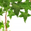 Green ivy — Stock Photo #8098868