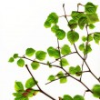 Spring leaves — Stock Photo #8099324