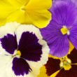Close-up of colourful viola tricolor - Stock Photo