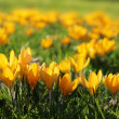 Close up of yellow crocuses - Stok fotoğraf