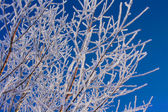 Rami coperti di neve — Foto Stock