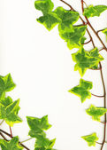 Green ivy — Stock Photo