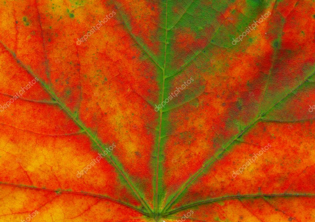 Macro shot of a beautiful autumn maple leaf  Stock Photo #8096490