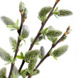Stock Photo: Pussy willow