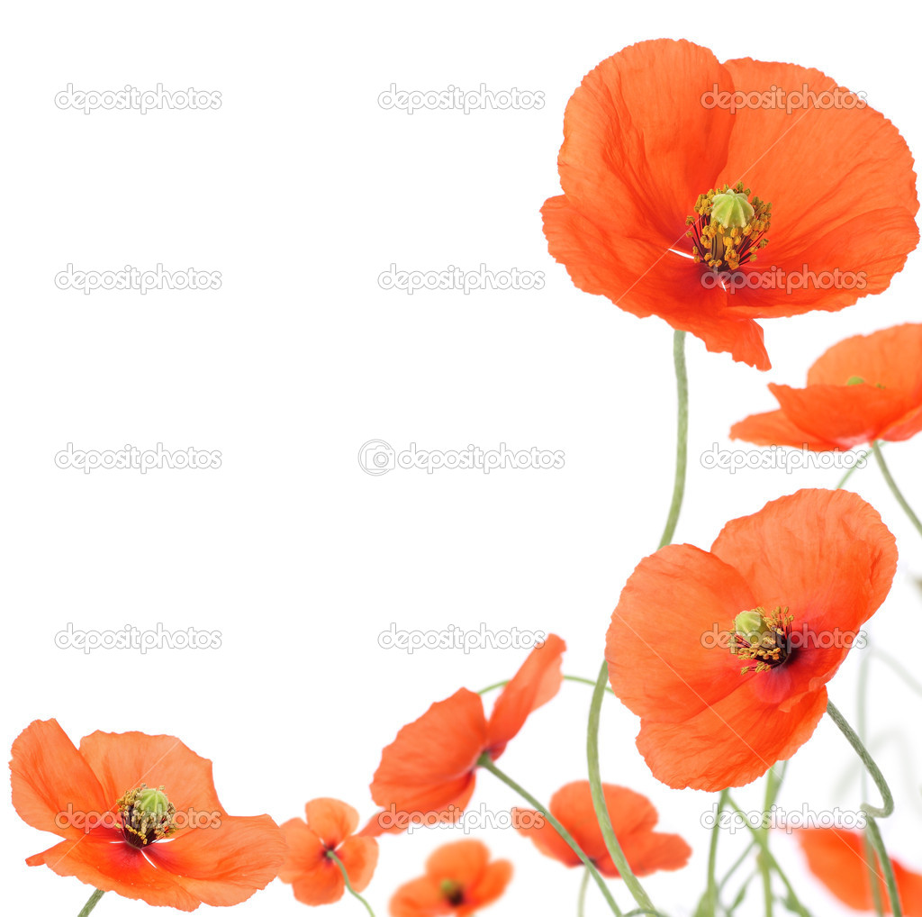 Poppies border, isolated on a white background with copy space — Stock Photo #8452892