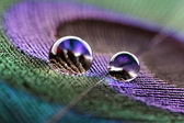 Water droplets on peacock feather — Stock Photo