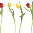 Elegant tulip flowers — Stock Photo #9740143