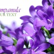 Campanula spring flowers border — Stock Photo