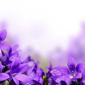 Campanula spring flowers design border background — Stock Photo