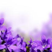 Campanula spring flowers design border background — Stock Photo