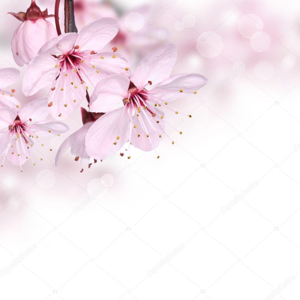 Flores da Primavera rosa desenha o segundo plano da borda