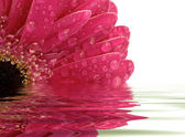 Closeup of pink gerber daisy reflected in the water — Stock Photo