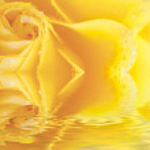 macro hermosa rosa amarilla con gotas de agua se refleja en el agua — Foto de Stock