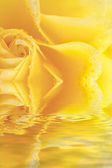 Macro beautiful yellow rose with water drops reflected in water — Stock Photo