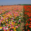 Rows of Colored Flowers - Stock Photo