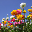 Stock Photo: Flower field