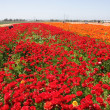 Red and Orange Flower field — Stock Photo