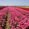 Flower plantation - Stock Photo