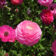 Close-up view of a pink flowers — ストック写真