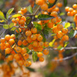Orange berries — Stock Photo