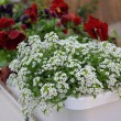 White small flowers — Stock Photo #10361461