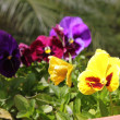 Viola tricolor - Stock Photo