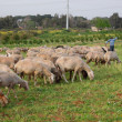 Sheep flock and shepherd - Stock Photo