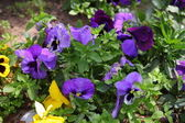 Viola tricolor flowers — Stock Photo
