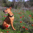 Dog on the Anemone field — Stock Photo
