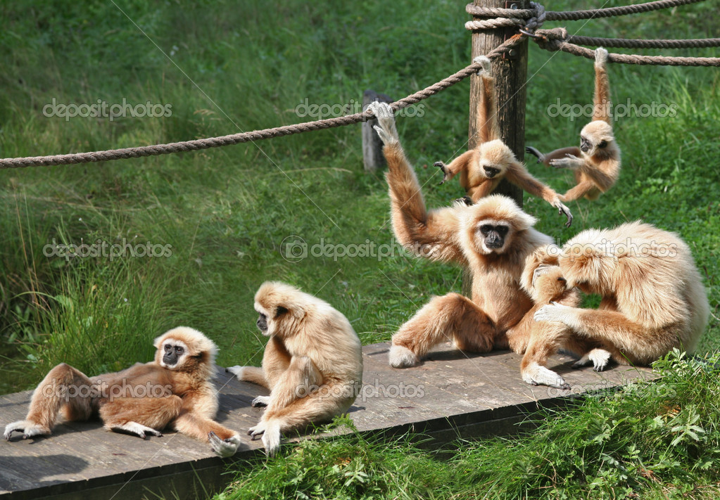 A bid family of monkeys playing around and enjoining themselves. — Stock Photo #8343859