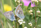 Butterfly Lovers — Stock Photo
