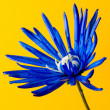 Dyed blue flower — 图库照片