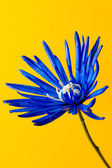 Dyed blue flower — Stock fotografie
