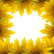 Sunflower border - Stock Photo