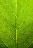 Green leaf nature background — Stock Photo