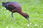 Ibis falcinelle. — Photo