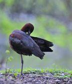 Glossy ibis. — Stock Photo