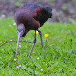 Glossy ibis. — Stock Photo