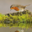 Robin, Erithacus rubecula. — Stock Photo