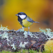 Great tit. - Stock Photo