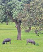 Iberian pork. — Stock Photo