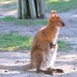 Wallaby. — Stock Photo #9385360