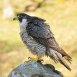 Stock Photo: Peregrine Falcon.