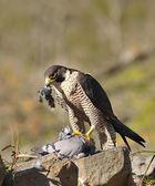 Peregrine Falcon. — Stock Photo