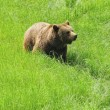 Stock Photo: Brown bear.