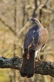 Goshawk. — Stock Photo