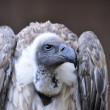 Vulture. — Stock Photo